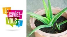 Pourquoi avoir une plante Aloé vera à la maison?